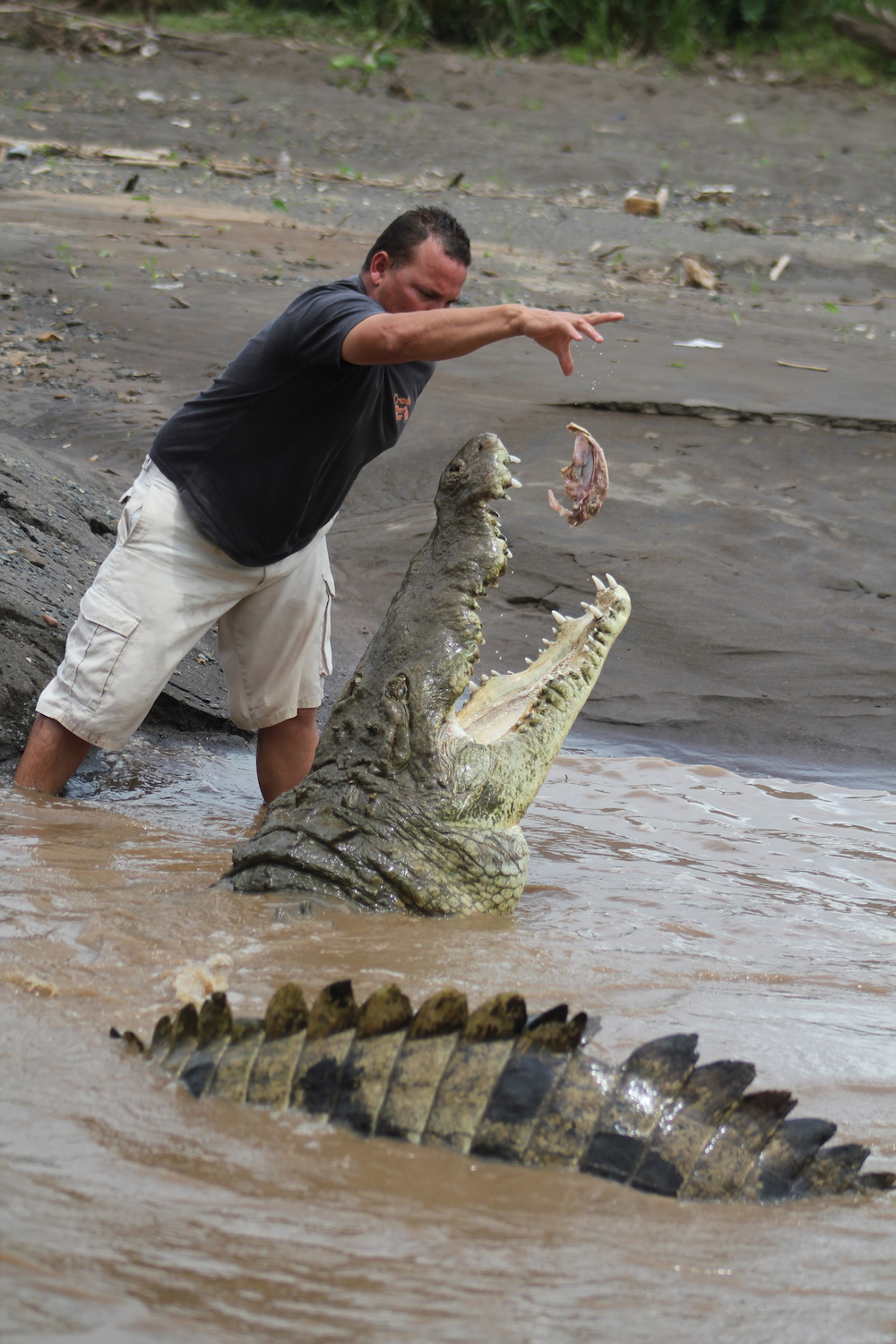 Crocodiles vs sharks which poses a greater threat to surfers crocodiles surfing costa rica freerunsca Image collections